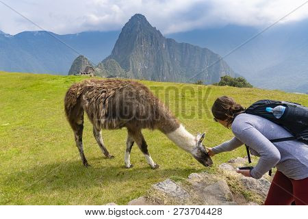 Machu Picchu, Peru - Sep 14, 2018: Tourist Petting A Llama At Machu Picchu. Llamas Are Part Of The N