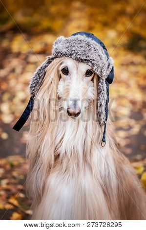 Afghan Hound Images, Illustrations & Vectors (Free) - Bigstock