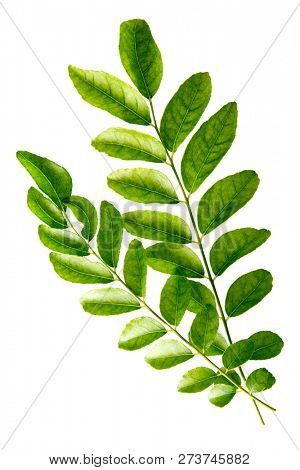 Fresh raw green curry leaves isolated on white background.