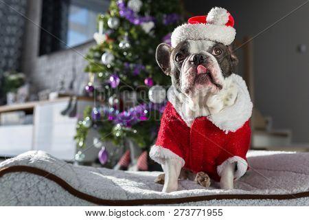 French bulldog in santa costume sitting under the christmas tree