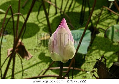 A Lotus Blossom Unopened Bud Surrounded By Leaf Stalks In A Pond