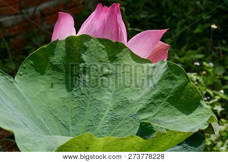 A Lotus Blossom Hiding Behind A Lotus Leaf In A Pond