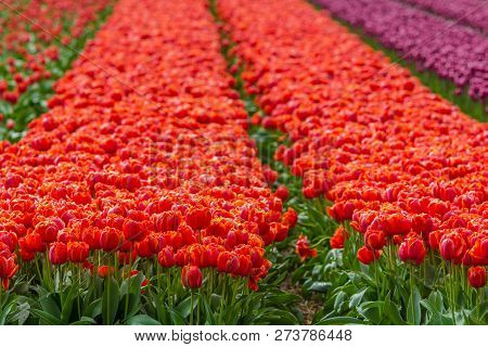 Vibrantly Colored Tulip Flowers In A Field In The Netherlands