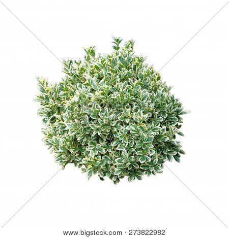 Green Bush Isolated On White Background. Round Ornamental Bush.