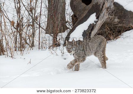 Canadian Lynx (lynx Canadensis) Stalks Left Through Snow - Captive Animal