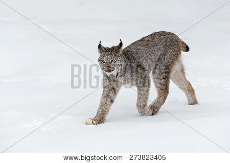 Canadian Lynx (lynx Canadensis) Walks Left Ears Back - Captive Animal