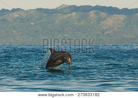 Dolphin Jumping Out Of Water. Dolphin In Nature Jumping Out Of The Ocean. Dolphin In Nature. Jumping