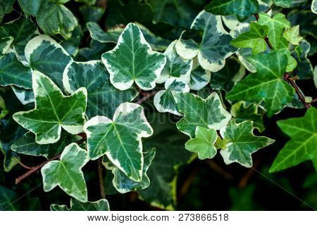 Macro Of Beautiful, Lush Green Leaves Of Common Ivy. Also Known As Hedera Helix, English Ivy Or Euro