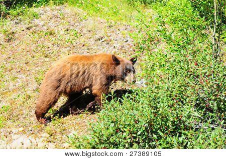 Brown colored black bear looking for berries in Jasper, Canada