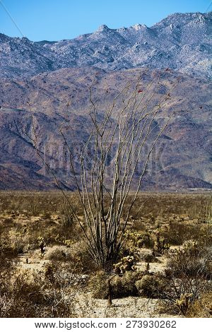 Ocotillo Cactus surrounded by the cholla cactus and creosote bush on an arid sandy plain with barren mountains beyond taken at the rural Colorado Desert in Anza Borrego State Park, CA poster