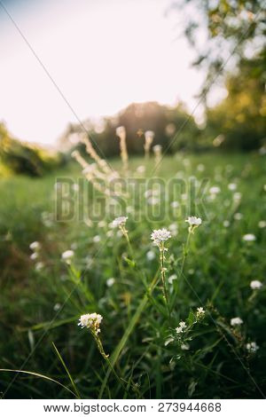 Berteroa Incana Is A Species Of Flowering Plant In The Mustard Family, Brassicaceae. Native To Euras