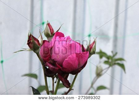 Charming Purple Rose With Multiple Flowers And Buds. Rose In Blossom In The Garden. Cardinal Hume Ro