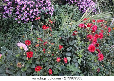 Autumn Flower Bed. Flower Border With Red Dahlias, Asters Surrounded With Green Plants.red And Pink