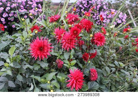 Bright Red Dahlia Flowers And Violet Asters In The Garden In Full Blossom. Autumn Flower Bed. Flower