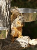 photograph of a fox squirrel taking food from a bird's food bowl poster