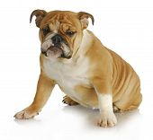 english bulldog sitting with silly expression - 5 months old poster