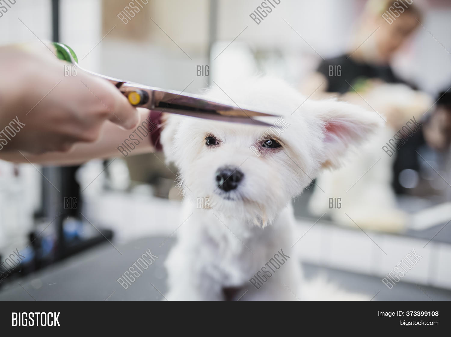 Maltese Dog Grooming Image Photo Free Trial Bigstock