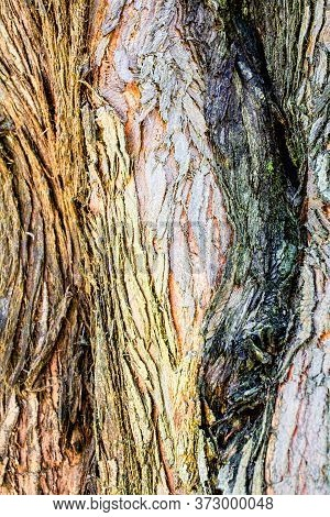 The Bark Of A Young Coastal Redwood, Sequoia Sempervirens, Displaying Different Colors- Texture Or B
