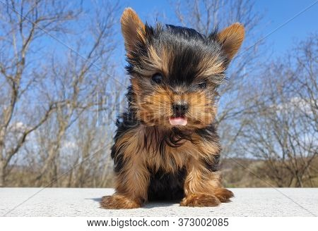 Closeup Of Playful Baby Yorkshire Terrier Puppy Outside. Front Portrait And Detail Of Young And Cute