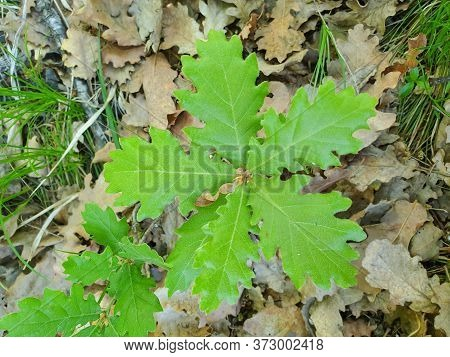 Young Oak Tree Plant With Six Leaves Detail On Dry Foliage On The Ground
