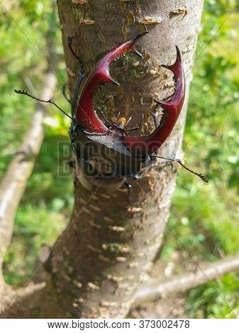 Close-up Of Large Male European Stag Beetle (lucanus Cervus) Insect Head With Mandibles, On Tree Bra