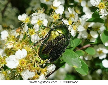 V-shaped Scutellum Of European Rose Chafer (cetonia Aurata) Or Green Rose Chafer Insect On Plant In