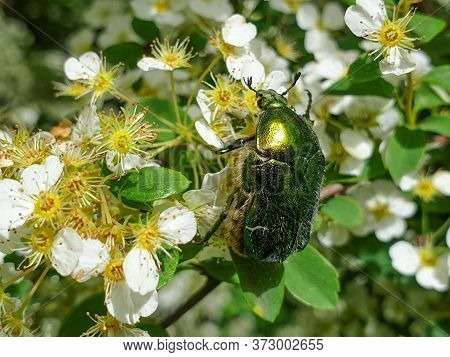 Close-up Of European Rose Chafer (cetonia Aurata) Or Green Rose Chafer Insect On Plant In Garden Pol
