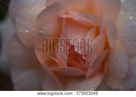 Flowers Of Roses With Petals Covered With Rain Drops.\\nlarge-flowered Roses Growing In The Garden.