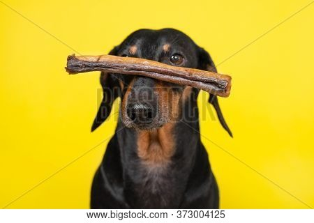 Obedient Dachshund Keeps On The Nose Dried Tasty Treat, Correctly Performed Trick, Copy Space For Ad