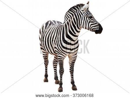 Zebra Isolated On White Background. Zebra Full Length Cutout