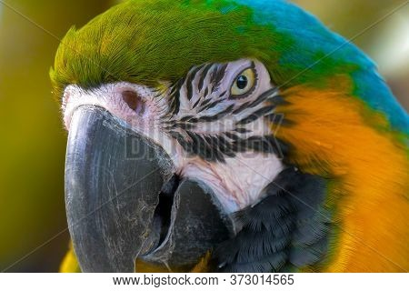 Close Up Blue And Gold Macaw Parrot Head. Exotic Colorful African Macaw Parrot, Beautiful Close Up O