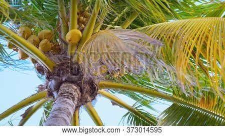 Palm Tree With Ripe Coconuts Sways In The Wind, Close-up View From The Bottom. Close Up Bottom View