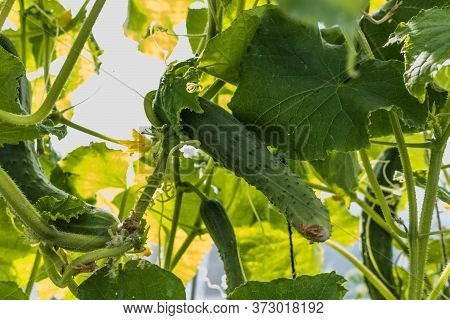 Cucumber Branch With Flowers And Fruits In The Garden . Cucumber Sativus. Cucumber Growing In The Ga