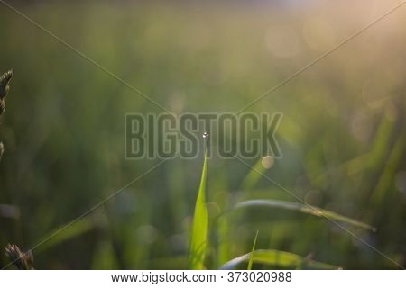 Drop On A Blade Of Grass. Golden Hour At Dawn. Natural Background. Dew On The Grass. A Delightful Or
