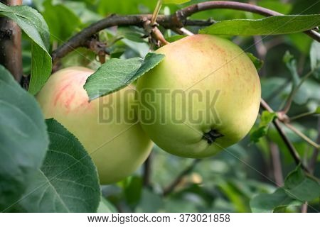 Two Ripening Apples On A Tree In A Summer Garden Close-up