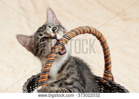Cute Gray Kitten Nibbles On A Wicker Basket Handle On A Cream Fur Plaid