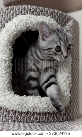 Close-up Portrait Of Lovable Grey Striped Cat Coming Out Of Cats Tree In The Living Room. Pets Climb