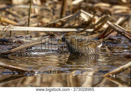 The Sora (porzana Carolina) , Small Waterbird  Looking For Food In Marsh Vegetation.