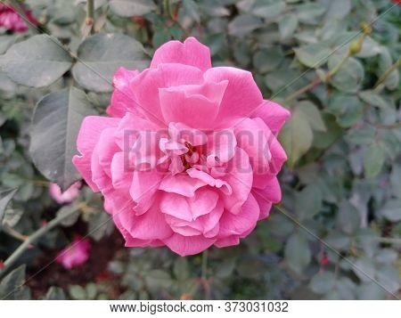 Beautiful Pink Rose In A Garden.coral Rose Flower In Roses Garden. Top View.beautiful Pink Climbing
