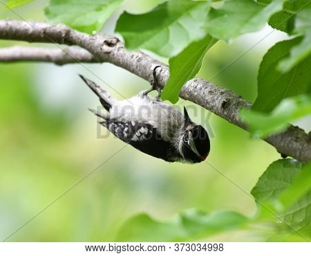 Downy Woodpecker Searching Pest On The Tree Branch