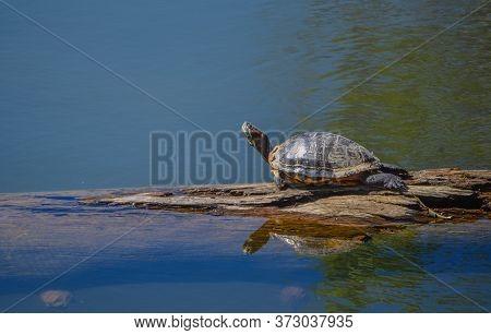 Turtle, Trachemys Scripta, A Pond Slider Basking In The Sun On Lynx Lake. Prescott, Yavapai County,