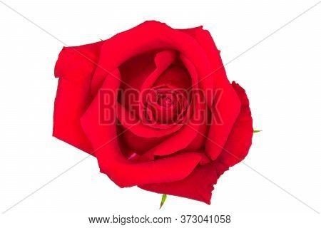 A Beautiful Red Rose On Wite Background