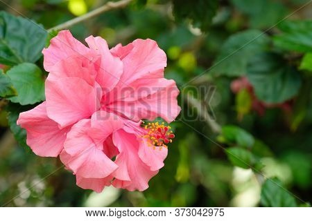 A Single Bloomiing Pink Hibiscus With Long Yellow And Red Stamen.