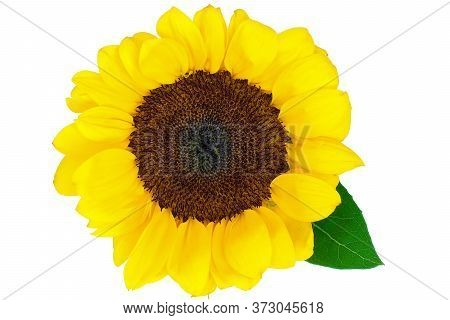 Bright And Beautiful Yellow Sunflower In Full Bloom, Isolated On White Background