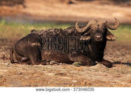 The African Buffalo Or Cape Buffalo (syncerus Caffer) A Large Bull Lying Covered Mud On The River Ba