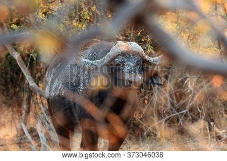 The African Buffalo Or Cape Buffalo (syncerus Caffer) Is Hiding In Thickets - A Dangerous Situation