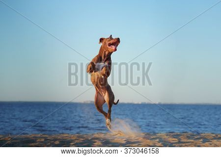 Dog On The Beach. Active Pit Bull Terrier Jumping On The Background Of The Sea. Pet In Summer