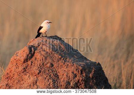 The Southern Pied Babbler (turdoides Bicolor) Sitting On The Termite Mound. White-black Bird On A Pi