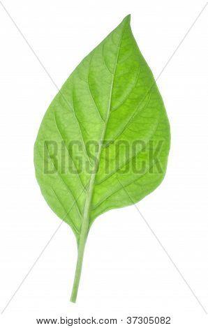 Bell Pepper Leaf