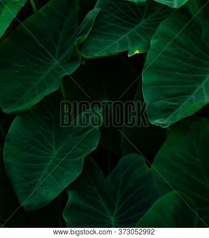 Closeup Green Leaves Of Elephant Ear In Jungle. Green Leaf Texture Background With Minimal Pattern.